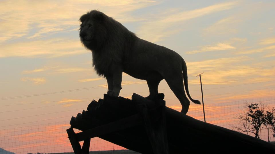 Love Lions Alive–our connections to saving lions in South Africa