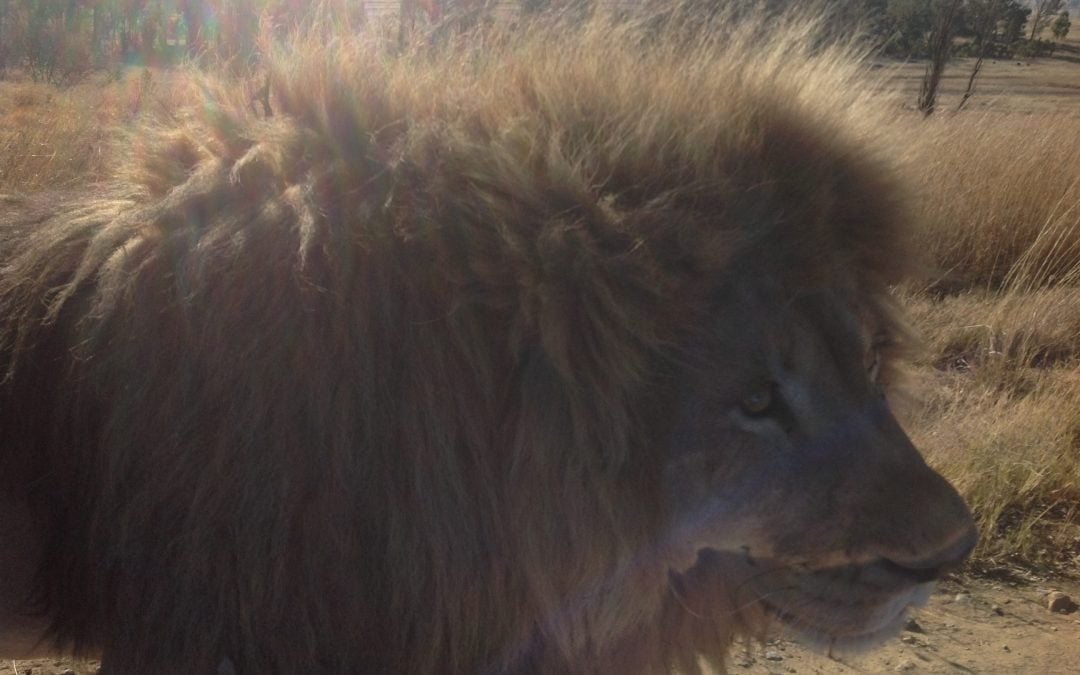 Love Lions Alive