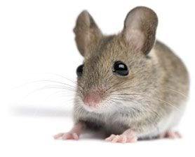 Are mice colorblind?